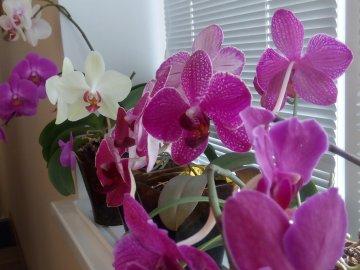 Орхидея: описание и лучшие сорта для дома