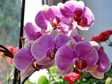 Распространенные сорта комнатных орхидей