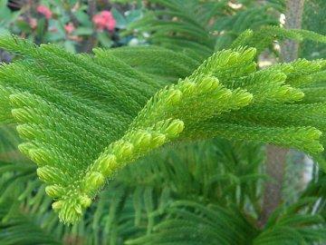 Описание хвойного растения