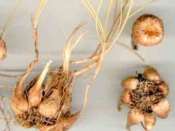 Как правильно хранить луковицы