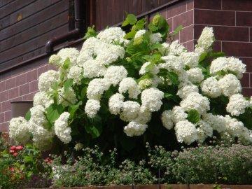 Гортензия древовидная - кустарник цветущий летом