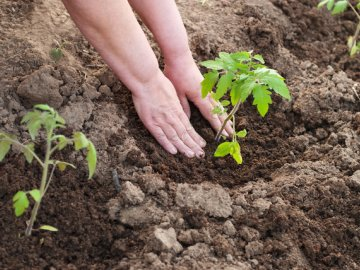 Сроки и правила пересадки томатов в грунт