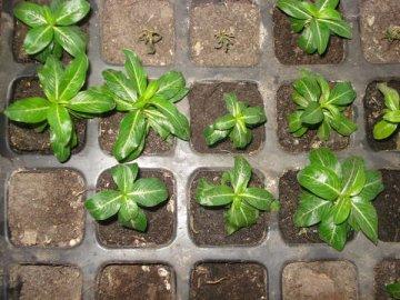 Способы размножения и технология посадки цветка