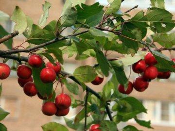 Оптимальный уход за яблоней Недзвецкого