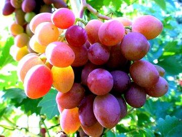 Ранние сорта морозостойкого винограда