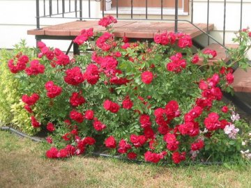 Особенности ухода за розой