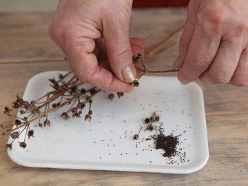 Размножение примулы с помощью семян