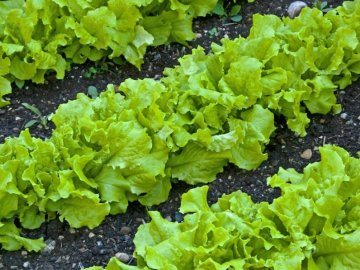 Выращивание салата листового