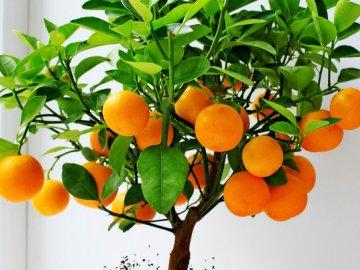 Выращивание комнатных мандаринов