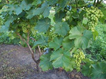 Оптимально время для высаживания винограда