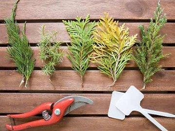 Методы размножения хвойных деревьев