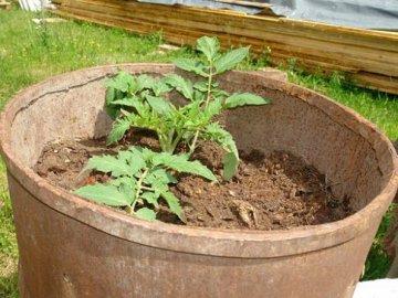 Сроки и правила посадки томатов в бочки