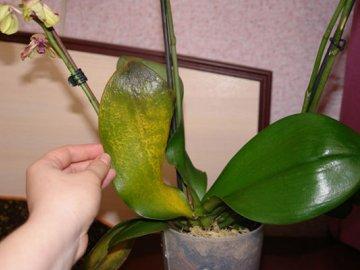 Болезни орхидей: виды и признаки