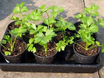 Выращивание рассады пахучего растения