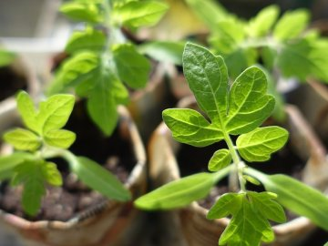 Подготовка и почев семян на рассаду