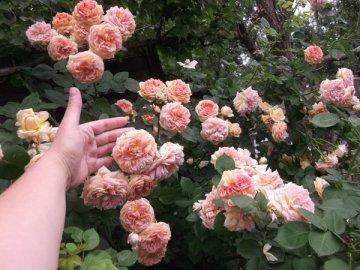 Советы по уходу за кустарником