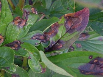 Заболевания растения
