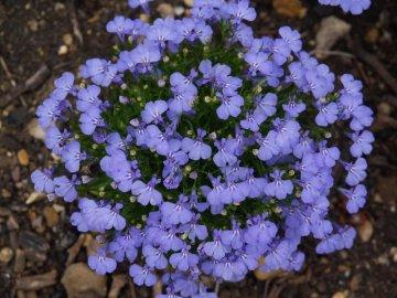 Высадка на открытый грунт и цветение