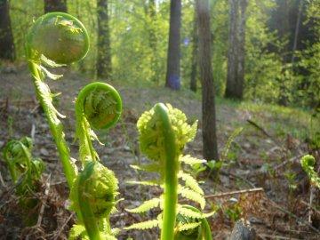 Выращивание и уход за папоротником