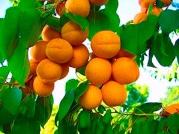 Другие северные сорта абрикоса