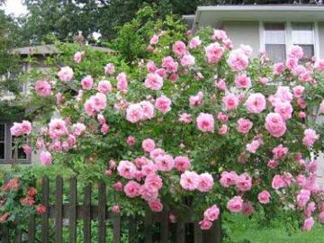 Особенности выращивание розы