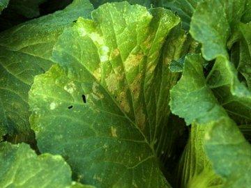 Борьба с распространенными капустными вредителями
