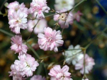 Гипсофила метельчатая: описание и популярные сорта