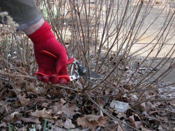 Уход за кустарником: полив, подкормка, обрезка, подготовка к зиме