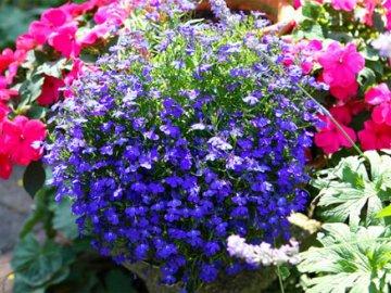 Хитрости выращивания и ухода за лобелией