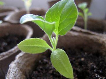 Посев баклажанов на рассаду
