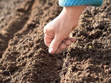 Подготовка к посеву семян свеклы