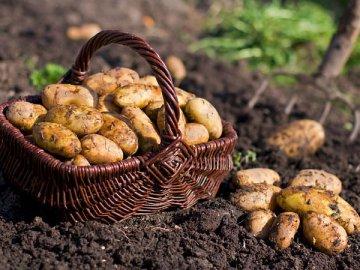 К чему приводит посадка картофеля в оптимальные для него сроки?