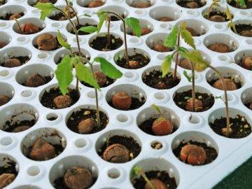 Выращивание из ореха