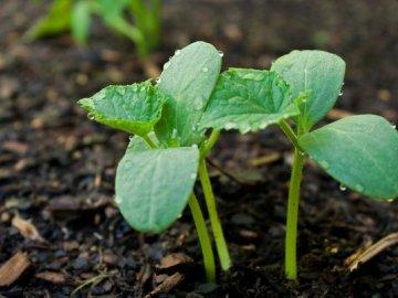 Почва под огурцы и сроки посадки