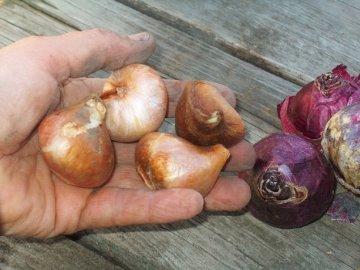 Подготовка к зиме и условия хранения луковиц