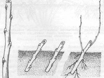 Использование одревесневших черенков