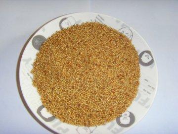 Выращивание пеннисетума из семян