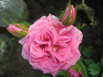 Один из преимущественных способов размножения розы – черенкование