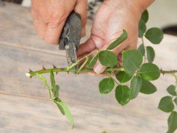 Правильно размножаем и высаживаем парковую розу