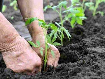 Сроки и правила пересадки растений в открытый грунт