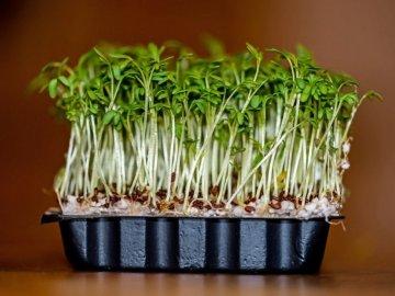 Особенности выращивание кресс-салата