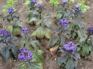 Цветок гелиотроп выращивание из семян, фото, уход и