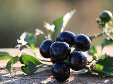 Полезные свойства ягод Санберри и противопоказания
