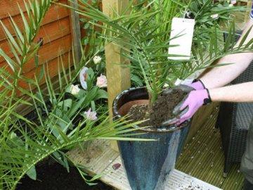 Пересаживание финиковой пальмы