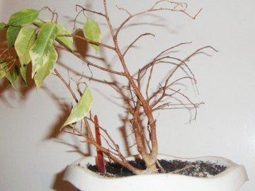 Как помочь фикусу, если все-таки листья опали?