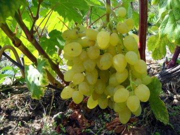 Тонкости ухода ха виноградом