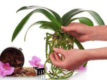 Как вылечить орхидею?