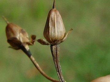 Размножение квамоклита перистого