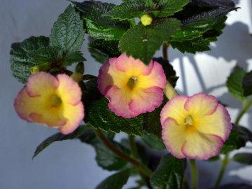 Выращивание ахименеса