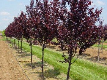 Выращивание сливы краснолистной